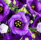 Picture of Lisianthus Bunch