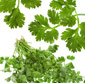 Picture of Cilantro