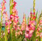 Picture of Cut Gladiolas