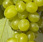 Picture of Fresh Green Seedless Grapes
