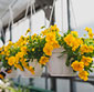 Picture of Hanging Baskets