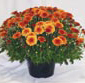 Picture of Garden Mums