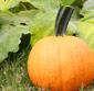 Picture of Sugar Pie Pumpkins