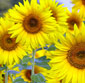 Picture of Cut Sunflowers