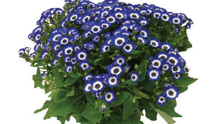 Picture of Cineraria Plant