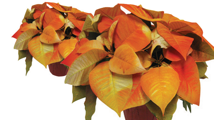 Picture of Autumn Beauty Poinsettia