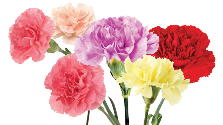 Picture of Premium Carnations