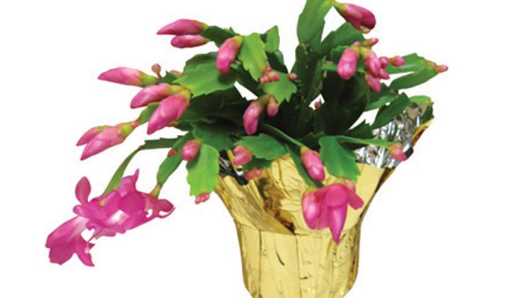 Picture of Zygo Cactus